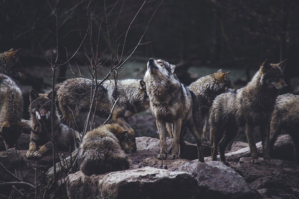 Large wolf pack in forest