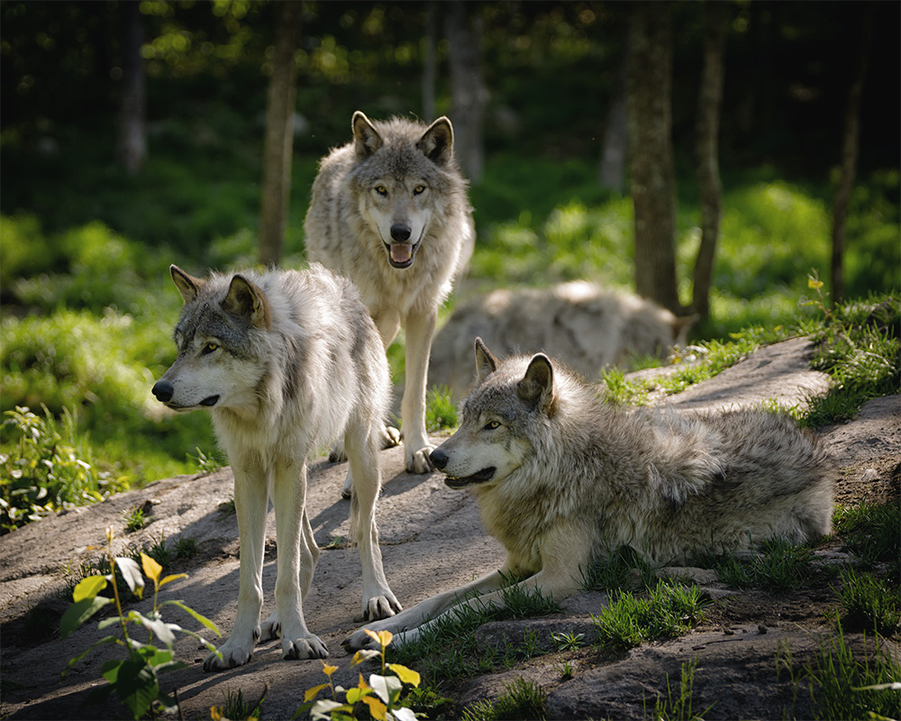 Small wolf pack in forest